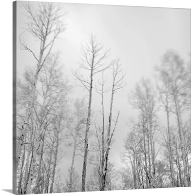Aspen trees blowing in the wind in the mountains above Santa Fe, New Mexico