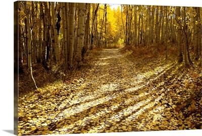 Aspens Lining Kebler Pass Road