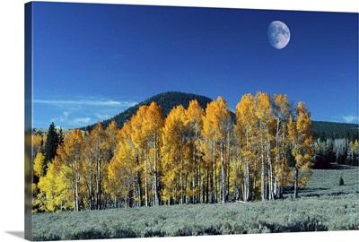 Autumn cedar trees