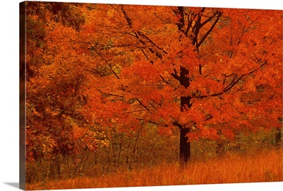 Autumn tree with red foliage