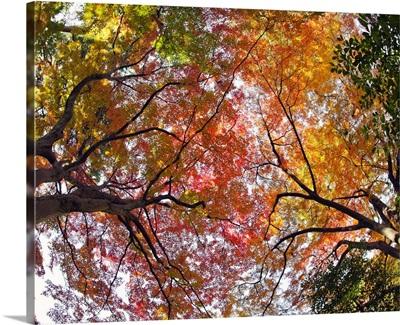 Autumn trees, Tonogayato Garden, Tokyo.