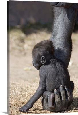 Baby Gorilla Sitting On Mother'S Hand