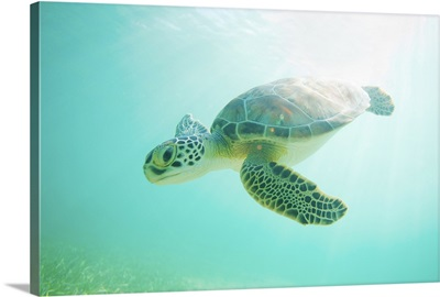 Baby green sea turtle underwater in Akumal, Mexico.
