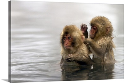Baby snow monkeys in Jigokudani monkey park, Nagano prefecture, Japan.