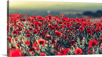 Backlit field of poppies create wonderful natural illusion.