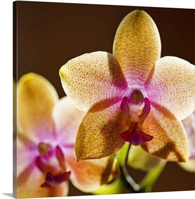 Backlit orchids