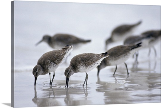 Bairds Sandpipers Wall Art, Canvas Prints, Framed Prints, Wall Peels ...