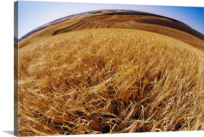 Barley At Harvest Time Near Dusty, Eastern Washington