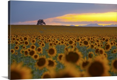 Beautiful sunflower field in Colorado at sunset.