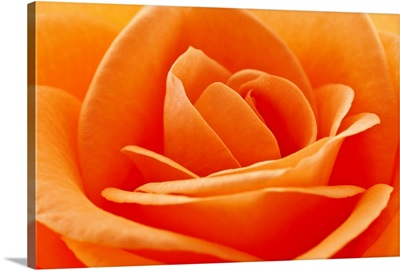 Beautifully detailed orange rose close up