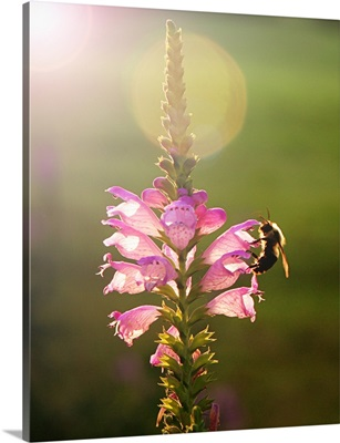 Bee collecting pollen from purple flower in evening sunlight.