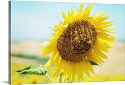 Bee sitting on sunflower.