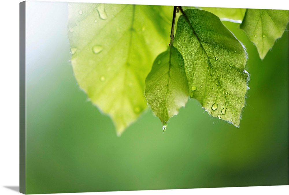 Beech leaves with raindrops