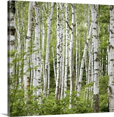 Birch trees (Betula sp.), summer