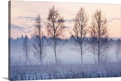 Birch trees in evening fog