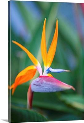 Bird-Of-Paradise Flower On Maui