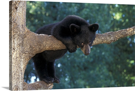Black Bear Cub Ursus Americanus Hanging Onto Tree Limb