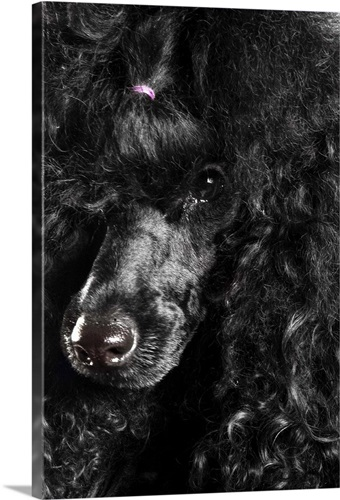 Black Poodle Wall Art, Canvas Prints, Framed Prints, Wall Peels ...
