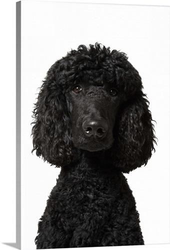 Black Standard Poodle Wall Art, Canvas Prints, Framed Prints, Wall ...