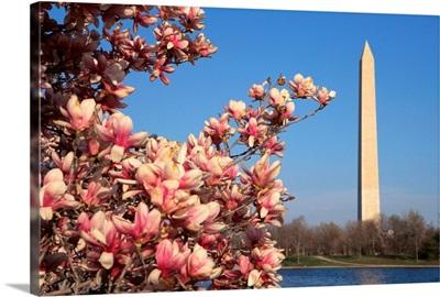 Blooming Magnolia Near Washington Monument