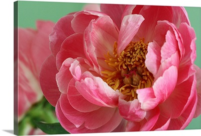 Blooming pink peony with tight crop and green background.