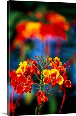 Blooming Royal Poinciana