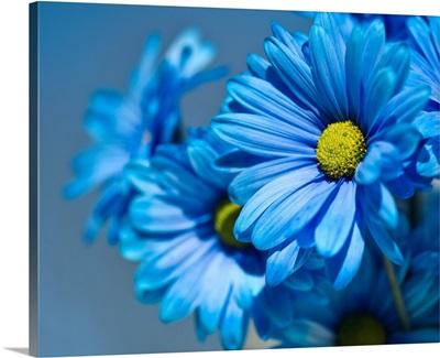 Blue daisies flowers.