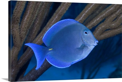 Blue tang with sea whips. The Bahamas, Atlantic Ocean.