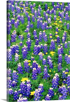 Bluebonnets And Flax