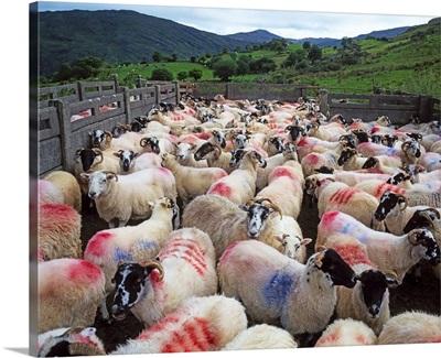 Bonane, County Kerry, Ireland, Sheep