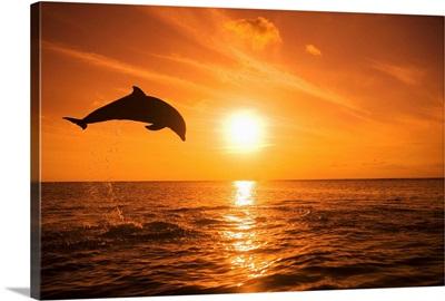 Bottle-nosed Dolphin jumping, Roatan, Honduras