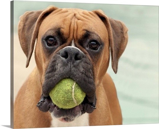 Boxer dog with a tennis ball in its mouth Wall Art, Canvas Prints ...