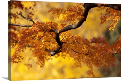 Branch of Japanese maple with orange and yellow leaves in autumn, Japan.