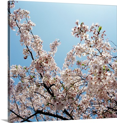 Branches of a cherry tree