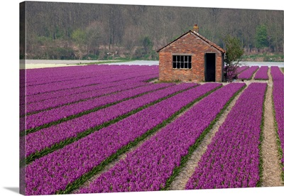 Brick Shed In Growing Field Of Hyacinths, Springtime Near Lisse Netherlands