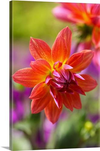 Bright orange dahlia flowers Wall Art, Canvas Prints, Framed Prints ...