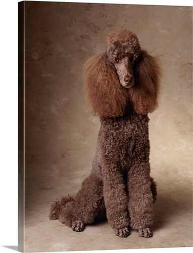 Brown Standard Poodle Wall Art, Canvas Prints, Framed Prints, Wall ...