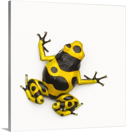 Bumblebee Poison Dart Frog Wall Art, Canvas Prints, Framed Prints ...
