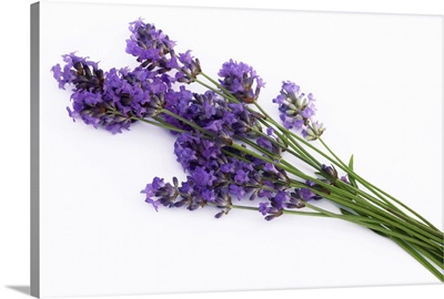 Bunch of fresh lavender flowers, on white background