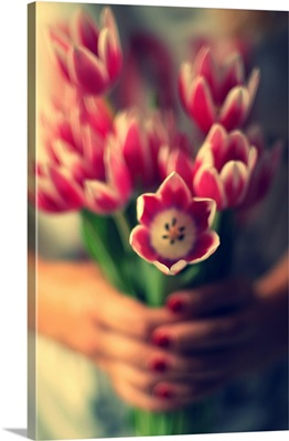 Bunch of pink with white tulips in a girl's hands