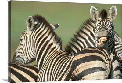 Burchell's Zebra in Tala Private Reserve, KwaZulu Natal Midlands, South Africa