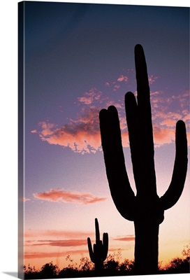 Cactus at sunset, Saguaro National Park, Arizona