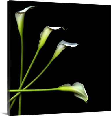 Calla lily against black background.