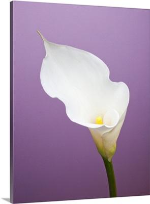 Calla lily on purple background