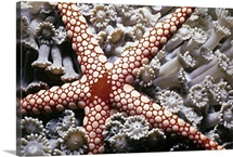 Candy Cane Starfish on soft coral. Red Sea