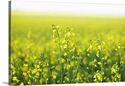 Canola flowering in field.