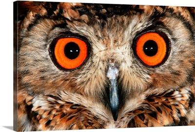 Cape Eagle Owl Eyes