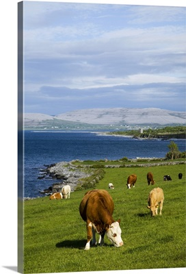 Cattle graze along the coastline, County Clare, Ireland