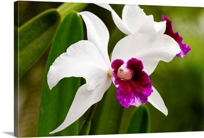 Cattleya Orchid In Hawaii