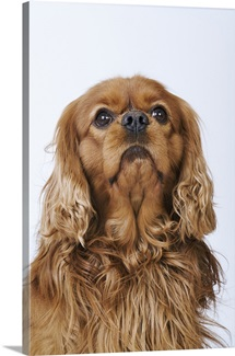 Cavalier King Charles Spaniel looking up
